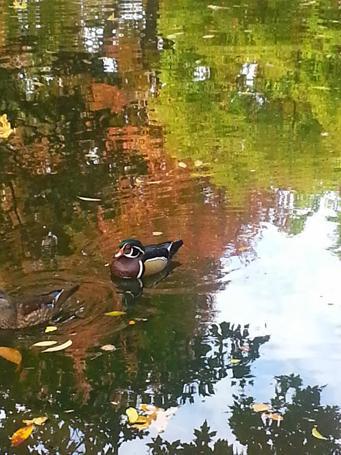 Duck pond in Lithia Park with the foliage reflection.