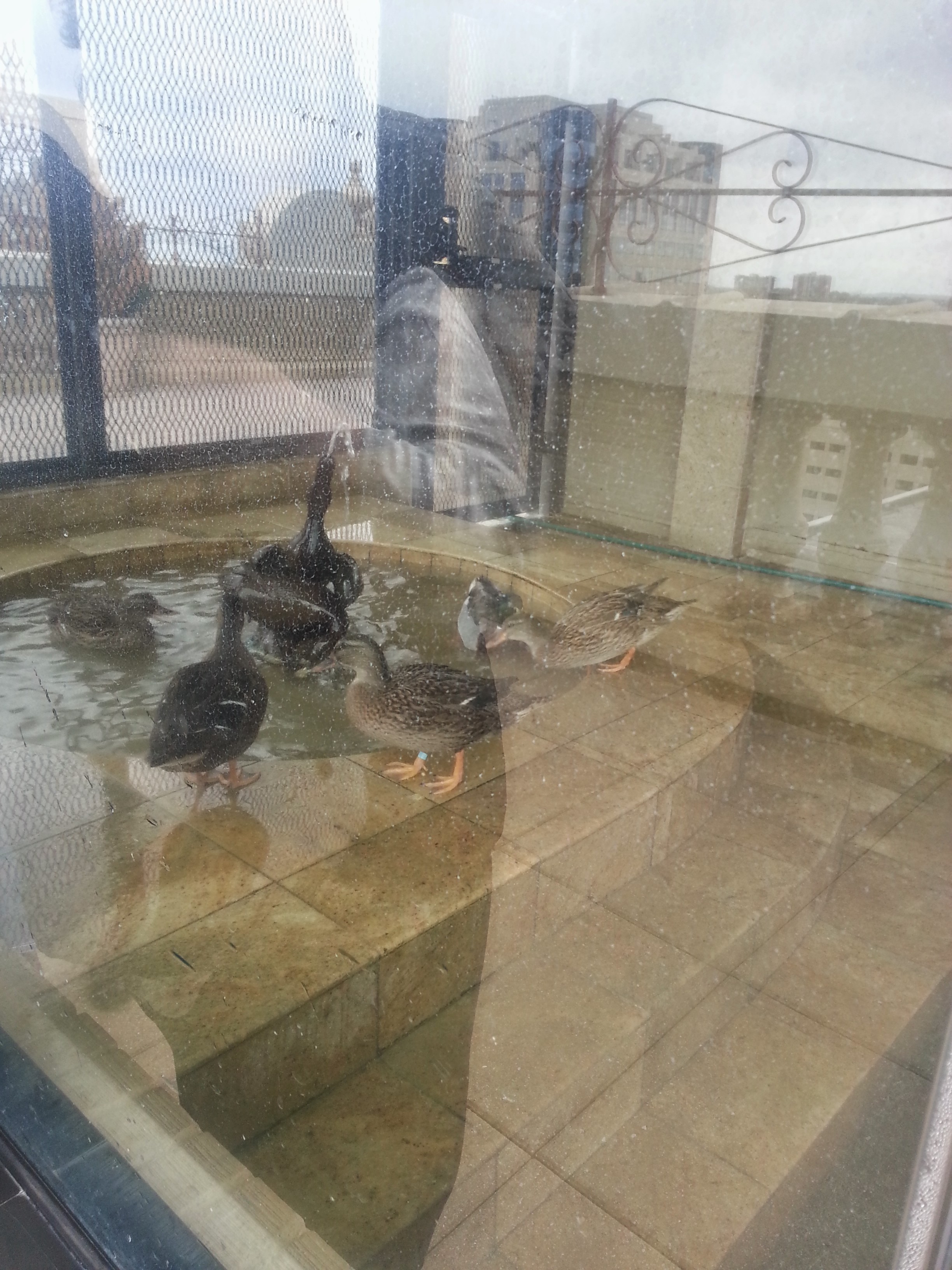 I guess they alternate ducks who go into the fountain.